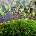 Difference Between Bryophytes and Ferns