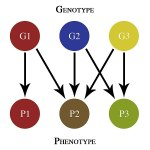 Difference Between Allele and Genotype