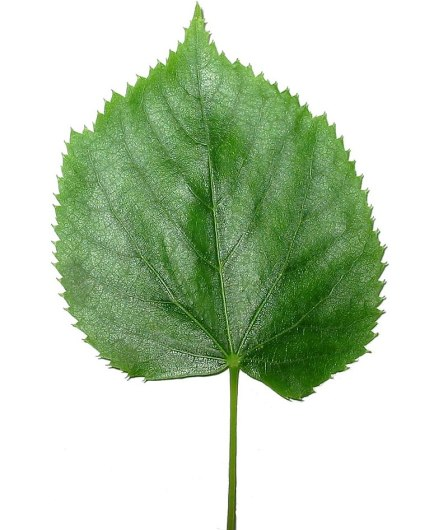 Key Difference - Monocot vs Dicot Leaves