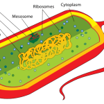 Difference Between Prokaryotic and Eukaryotic Ribosomes