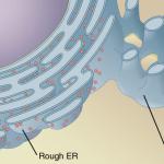 Difference Between Golgi Apparatus and Endoplasmic Reticulum