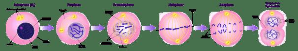 Key Difference - Cytokinesis vs Mitosis