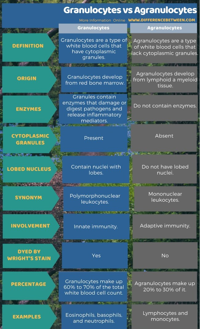 Difference Between Granulocytes and Agranulocytes in Tabular Form