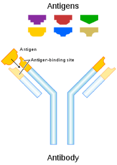 Difference Between Endogenous and Exogenous Antigens_Fig 01