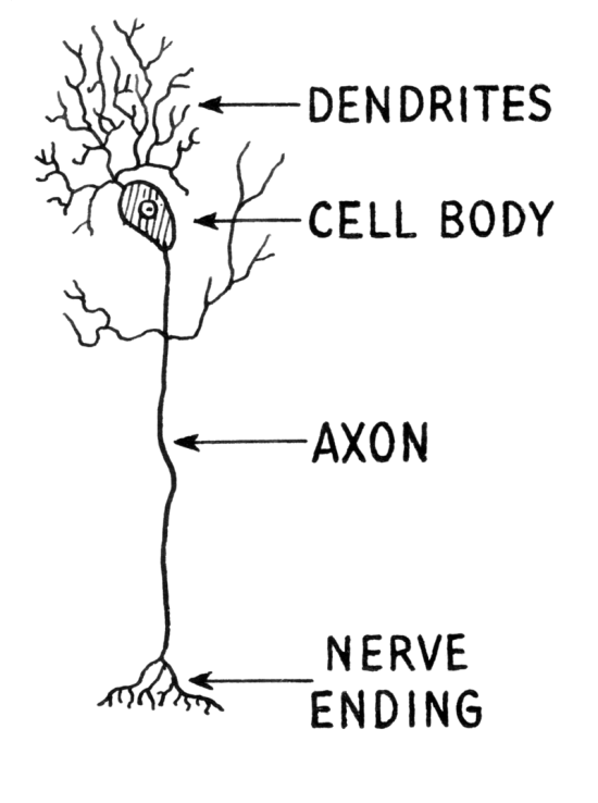 Key Difference Between Axons and Dendrites