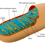 Difference Between Mitochondria and Chloroplast