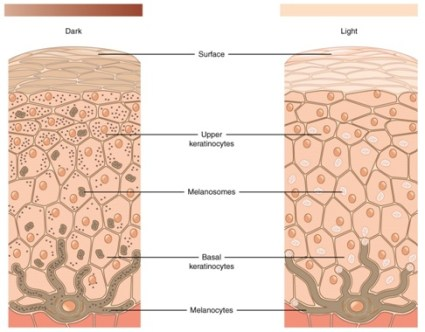 Difference between Keratinocytes and Melanocytes