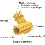 Difference Between Centriole and Centrosome
