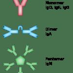 Difference Between Immunoglobulin and Antibody