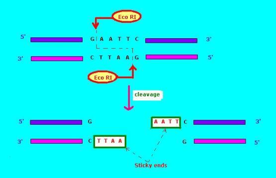 Key Difference - Blunt vs Sticky End Ligation