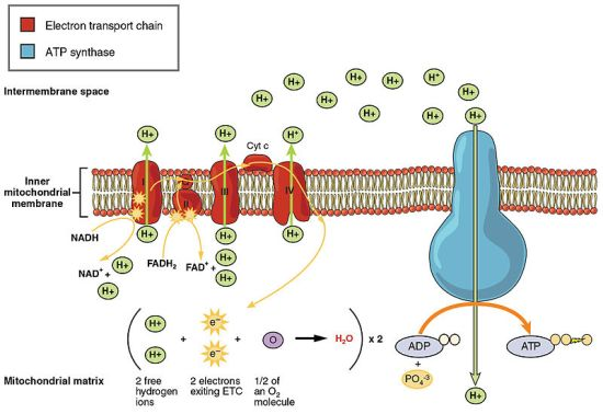 Difference Between Substrate Level Phosphorylation and Oxidative Phosphorylation