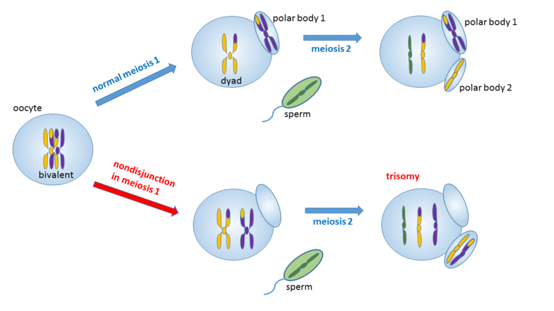 meiosis 1 diagram 2006 harley davidson wiring diagrams difference between nondisjunction in and 2