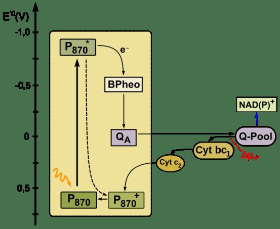 Key Difference - Oxygenic vs Anoxygenic Photosynthesis