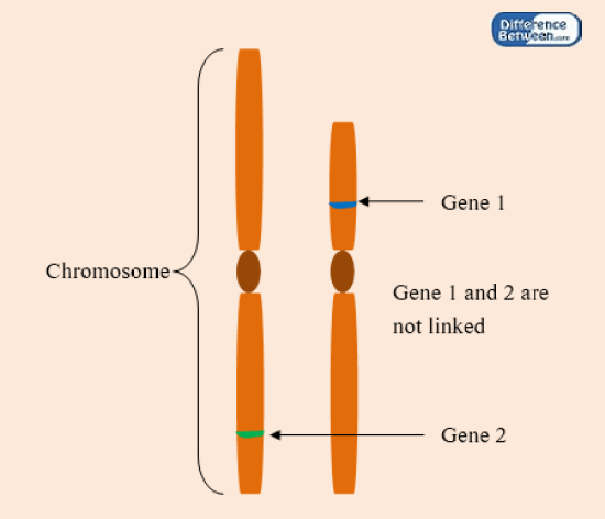 Difference Between Linked and Unlinked Genes