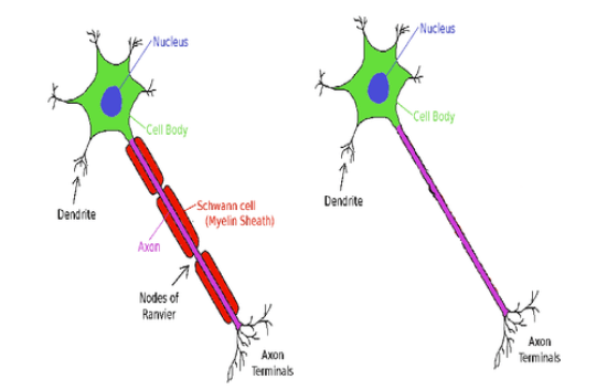 Key Difference - Myelinated vs Unmyelinated Axons