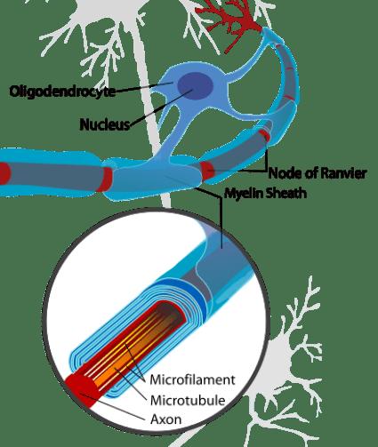 Key Difference - Schwann Cell vs Myelin Sheath