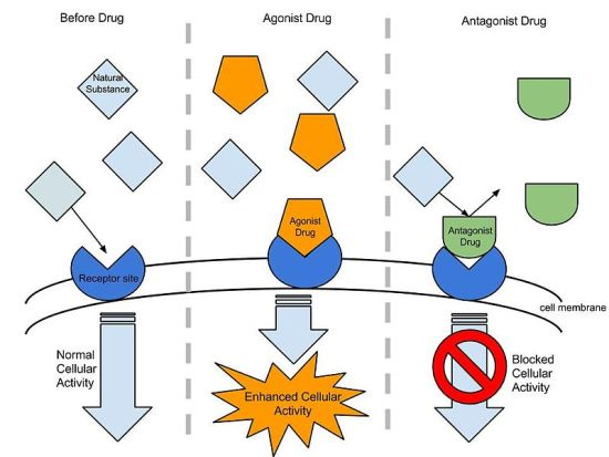 Difference Between Agonist and Antagonist Drugs