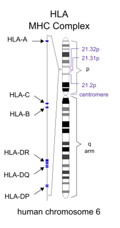 Difference Between HLA and MHC