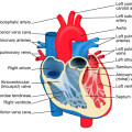 Difference Between Auricle and Ventricle