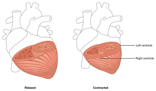 Key Difference Between Auricle and Ventricle