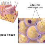 Difference Between Areolar and Adipose Tissue
