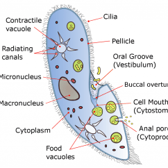 Explain The Process Of Nutrition In Amoeba With Diagram 3 Way Wire Difference Between Food Vacuole And Contractile L