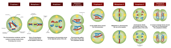 Difference Between Meiosis and Gametogenesis