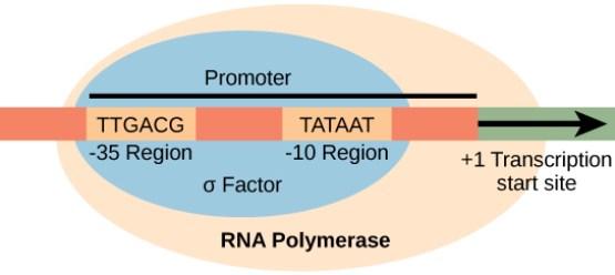 Key Difference Between Eukaryotic and Prokaryotic Promoters