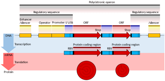 Key Difference Between Structural and Regulatory Genes