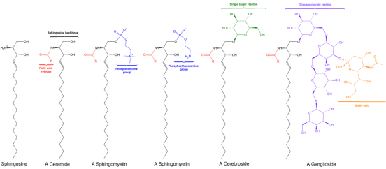 Key Difference Between Glycerophospholipids and Sphingolipids