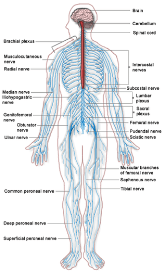 Key Difference Between Nervous Tissue and Nervous System
