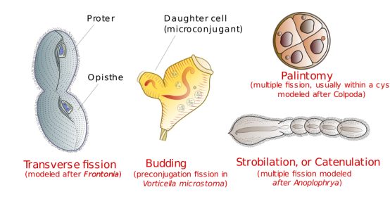 Key Difference Between Binary Fission and Multiple Fission