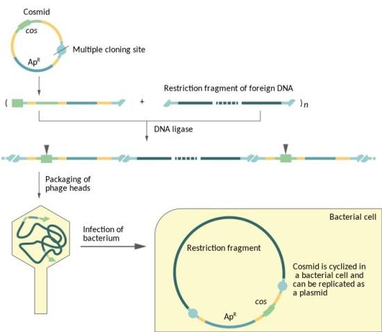 Difference Between Cosmid and Phagemid