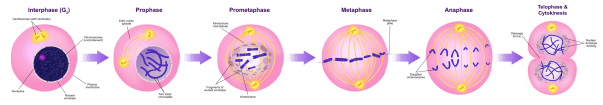 Key Difference Between Interphase and Mitosis