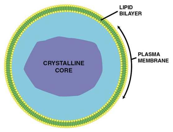 Difference Between Glyoxysomes and Peroxisomes