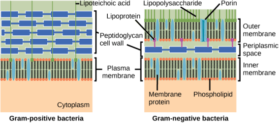 Difference Between Gram Positive and Gram Negative Cell Wall
