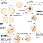 What are the Similarities and Differences Between Mitosis and Meiosis