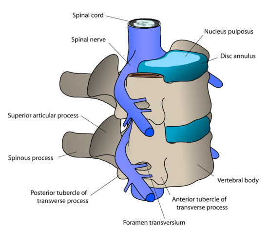 Difference Between Spondylosis and Spondylolisthesis