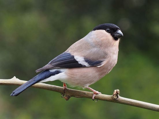 Key Difference Between Male and Female Society Finches