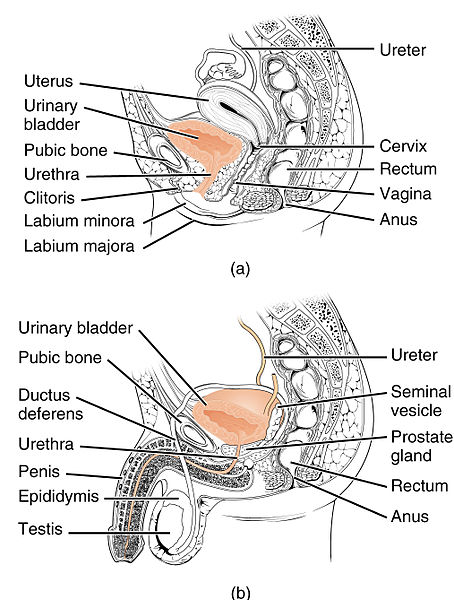 Difference Between Male and Female Urethra Anatomy l Male