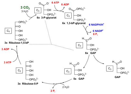 Key Difference Between Light Reaction and Calvin Cycle