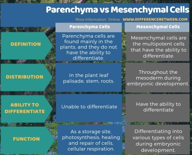 Difference Between Parenchyma and Mesenchymal Cells in Tabular Form