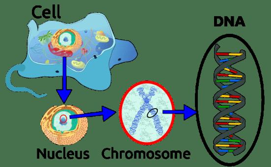 Key Difference - Gene vs DNA