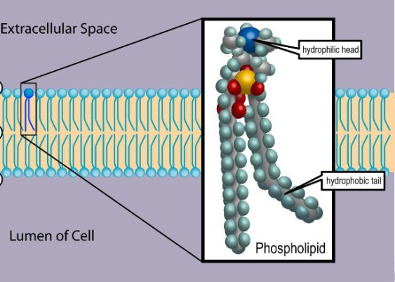 Difference Between Simple and Complex Lipids
