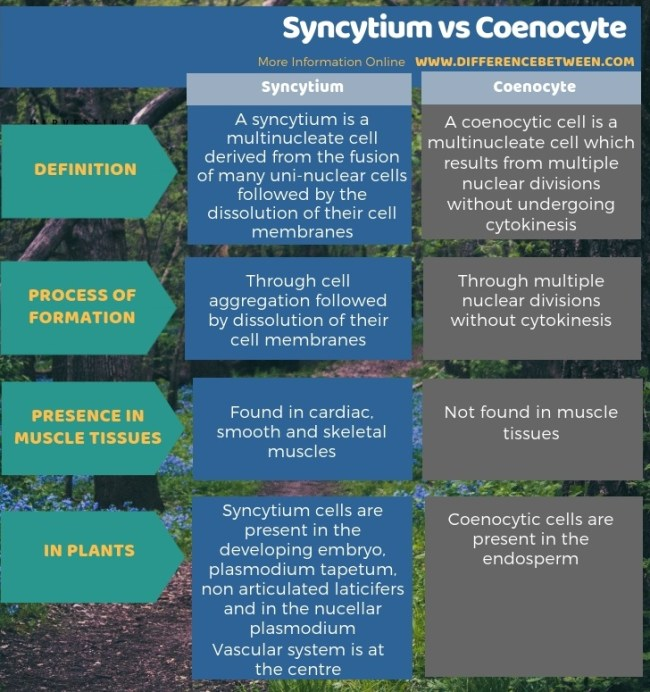 Difference Between Syncytium and Coenocyte - Tabular Form