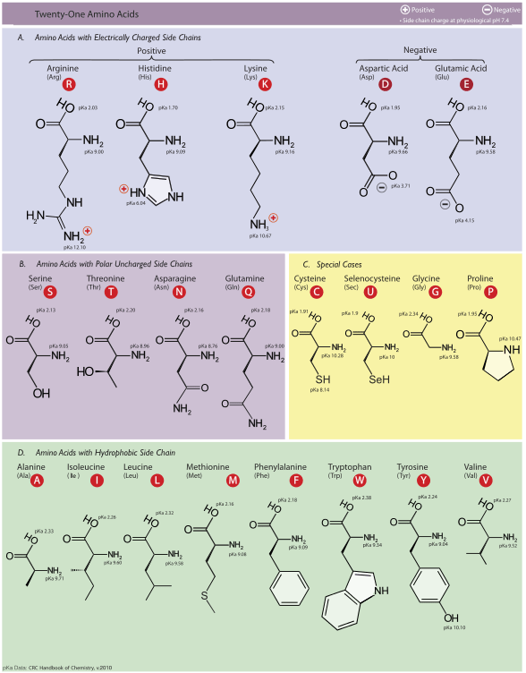 Difference Between Amino Acid and Imino Acid