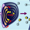 Difference Between Golgi Bodies and Dictyosomes