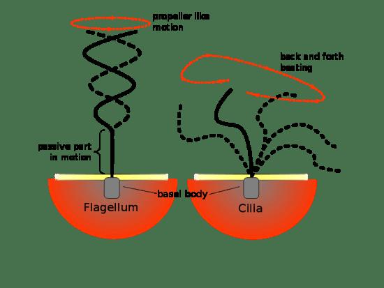 Key Difference - Autonomic vs Paratonic Movements