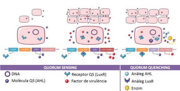 Key Difference - Quorum Sensing vs Quorum Quenching