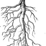 Difference Between Taproot and Adventitious Root